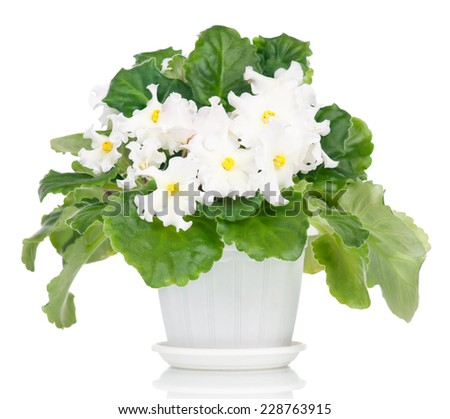 Beautiful white violet flowers (Saintpaulia) over leaves background - stock photo