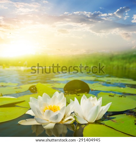 beautiful white water lilies at the sunset - stock photo