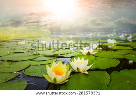 beautiful white waterlilies - stock photo