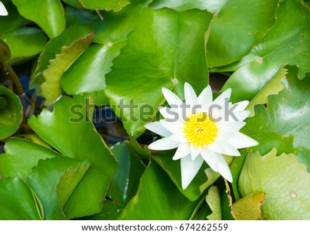 beautiful white waterlily or lotus flower and green leaf with fountain