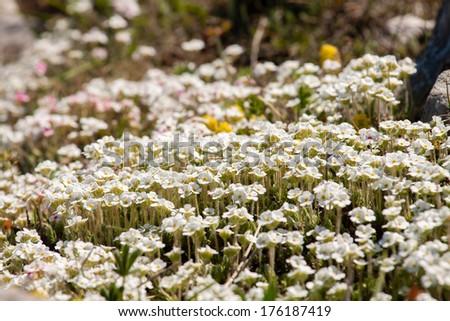 Beautiful white wild flowers - stock photo
