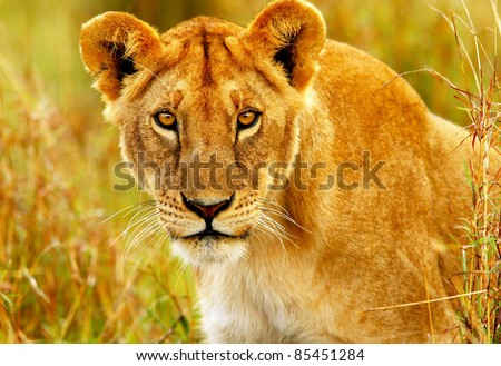 Beautiful wild african lioness portrait, Savanna, game drive, wildlife safari, animals in natural habitat, beauty of nature, Kenya travel, Masai Mara - stock photo