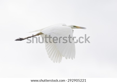 Beautiful wild and free white heron flying