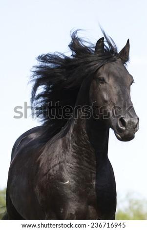 beautiful wild friesian horse stallion running - stock photo
