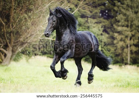 beautiful wild friesian horse stallion running in nature - stock photo