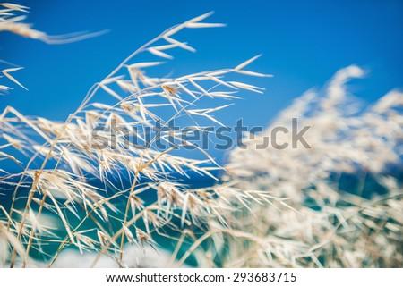 Beautiful wild grass on the sea coast. Selective focus.   - stock photo