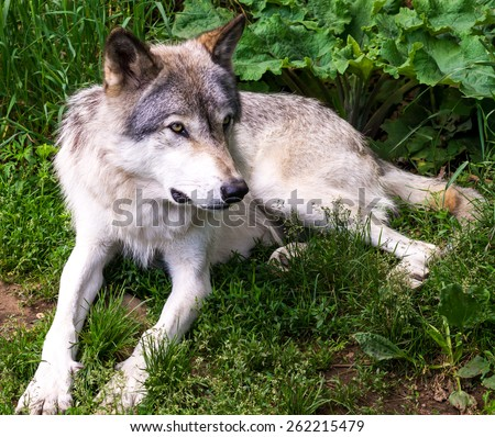 Beautiful wild gray wolf in captivity in a park  - stock photo