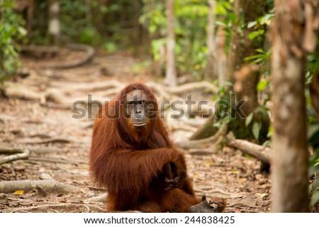 Beautiful wild orangutan in Borneo forest - stock photo