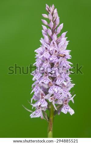 Beautiful wild orchid ,Dactylorhiza maculata - stock photo