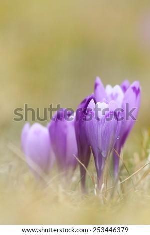 beautiful wild saffron crocus ( sativus ) on mountain meadow - stock photo