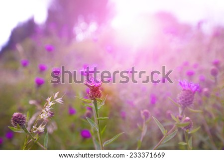 Beautiful wild thistle in the morning sunlight