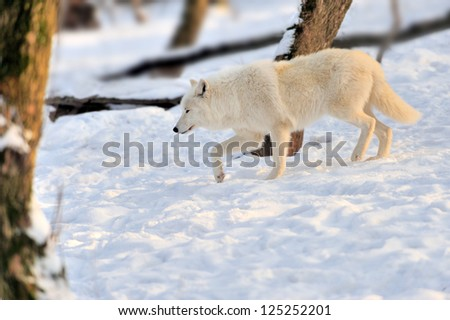 Beautiful wild white wolf in winter - stock photo