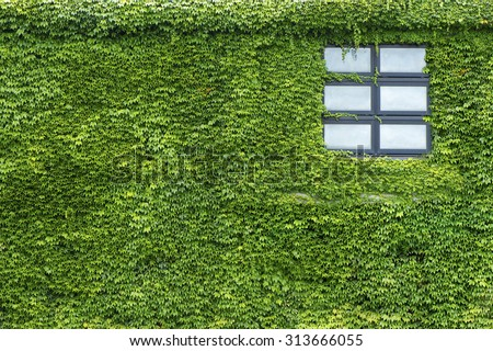 Beautiful window on green wall with climbing plant - stock photo