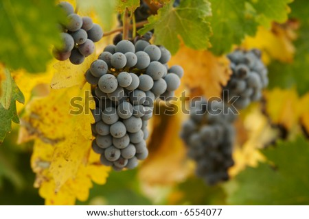 Beautiful Wine Grapes on the Vine one Early Fall Morning. - stock photo