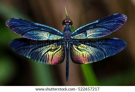 Beautiful Wing Dragonfly Stock Photo (Edit Now) 522657217 ...