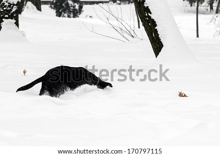 Beautiful winter day in the park with black dog playing in the snow - stock photo
