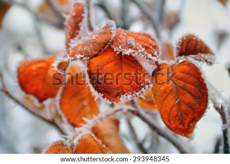 Beautiful winter image - close up of frozen tree branch and bright orange leaves covered with rime - photo with tilt-shift effect - stock photo