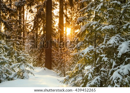 Beautiful winter landscape with the forest and sunset . snow and trees . Frosty wintry  evening  in the coniferous firs    - stock photo