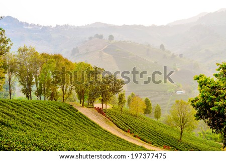 beautiful winter mountain the sunshine with tea coffee farm ,	fog cover farm tea-coffee plant landscape ,green ,yellow ,trees, - stock photo