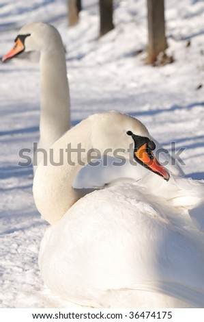 Beautiful winter swan couple resting in the snow - stock photo