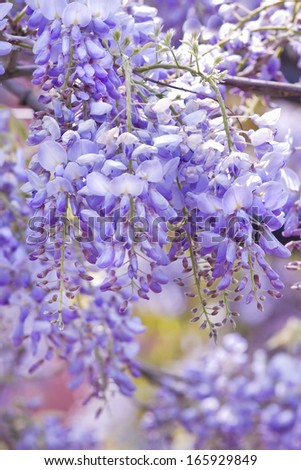 Beautiful Wisteria sinensis flowers blooming in springtime  - stock photo