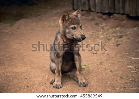 Beautiful wolf puppy dog seating in yard in dust - stock photo