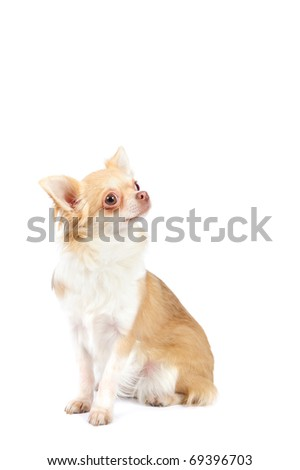 Beautiful 1 year old  chihuahua in studio in front of a white background - stock photo