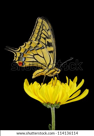 Beautiful Yellow and Black Butterfly (lepidoptera) on a Bright Yellow Flower isolated on black
