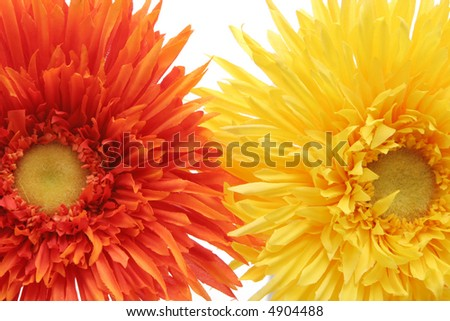 Beautiful yellow and orange daisy flowers on white background