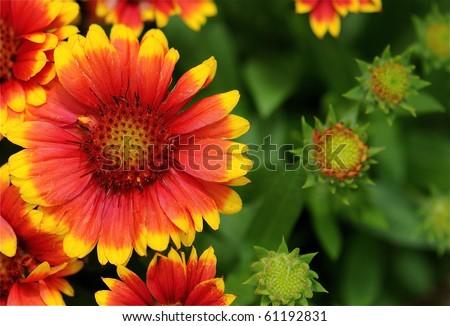 Beautiful yellow and orange gerber daisy's in summer. - stock photo