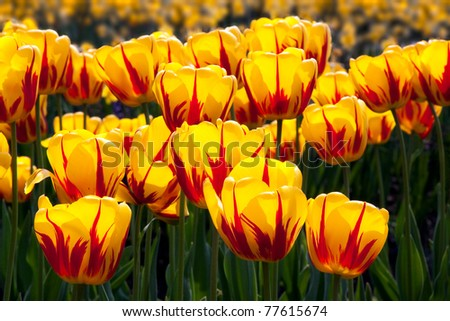 Beautiful yellow and red tulips in a field