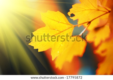 Beautiful yellow autumn leaves in sunshine. Close-up, shallow DOF. - stock photo