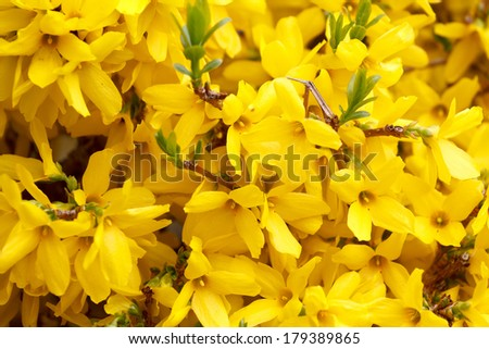 Beautiful Yellow blossoms of forsythia bush in garden - stock photo
