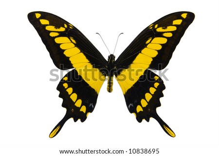 Beautiful yellow butterfly from tropics - stock photo