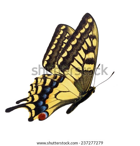 Beautiful yellow butterfly (Papilio hospiton, Corsican Swallowtail) flying isolated on white background. - stock photo