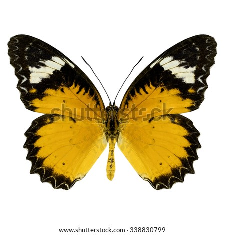 Beautiful Yellow butterfly upper wing profile isolated on white background - stock photo