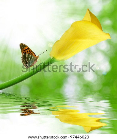 Beautiful yellow calla with butterfly - stock photo