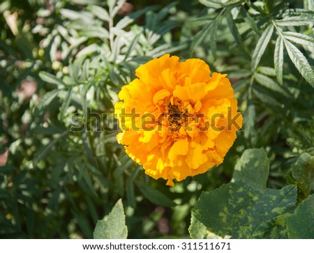 Beautiful yellow carnation(Dianthus) close-up. Flowers and gardens - stock photo