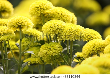 Beautiful yellow chrysanthemum flowers forming a background - stock photo