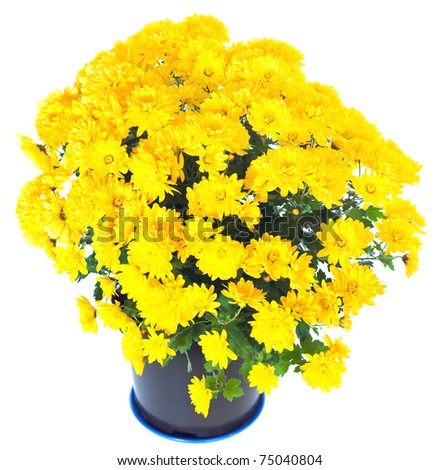 Beautiful yellow chrysanthemum in flowerpot isolated on white background - stock photo