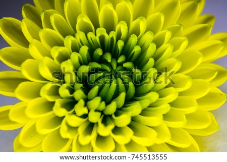 beautiful yellow Chrysanthemum Indicum flower is a specific flower produced in France during autumn taken by macro photography