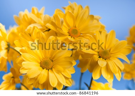 Beautiful yellow chrysanthemum on a blue background - stock photo