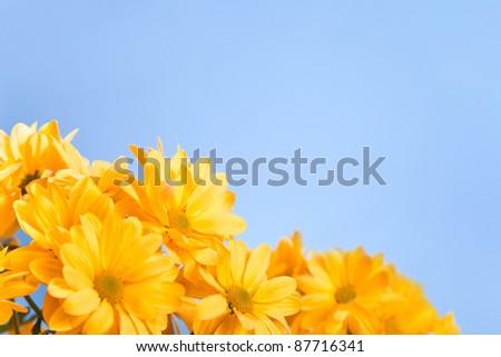 Beautiful yellow chrysanthemum on a blue background - stock photo