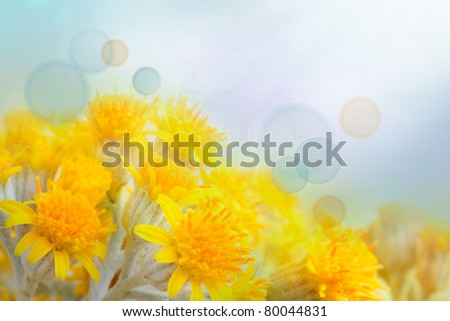 Beautiful yellow colorful spring flower background with blue bokeh light. Flowers in misty morning with blue sky in the back. - stock photo