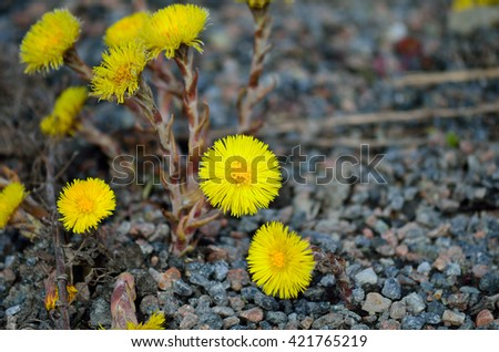 beautiful yellow coltsfoot flowers bursting through pebbled ground in early spring