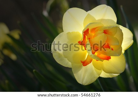 Beautiful yellow daffodil backlit with dark green leaves - stock photo