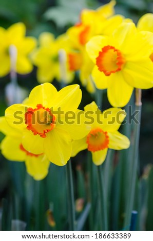 Beautiful Yellow Daffodil Flowers in the park