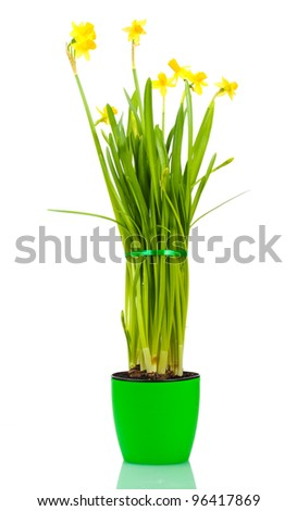 beautiful yellow daffodils in a flowerpot isolated on white - stock photo