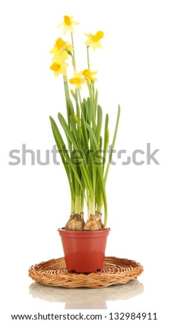Beautiful yellow daffodils in flowerpot isolated on white - stock photo