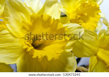 Beautiful yellow daffodils in the spring time. - stock photo